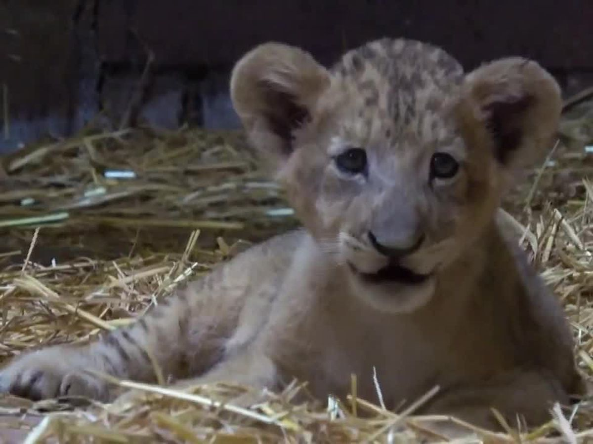Wildlife Park in Singapore introduces its first 'assisted reproduction' lion cub