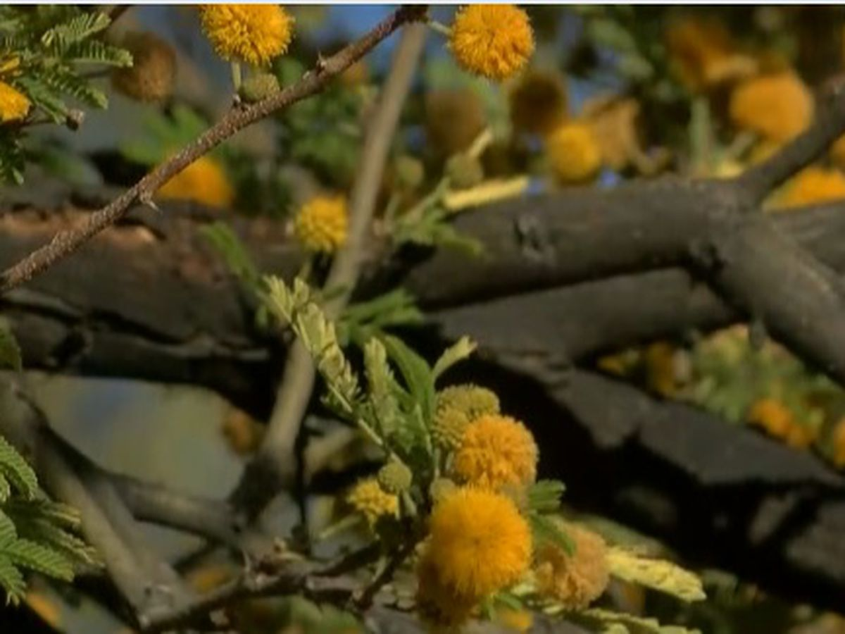 Mesquite pollen creating terrible allergies for Tucsonans