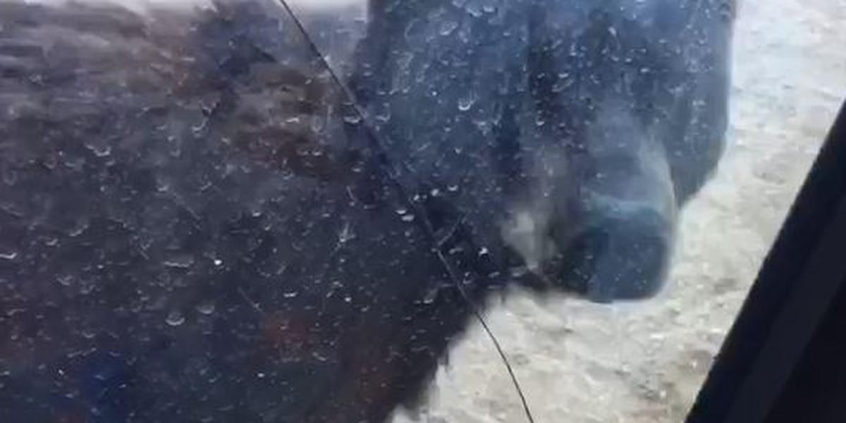 Hay un oso vago en una vecindad de Tucson