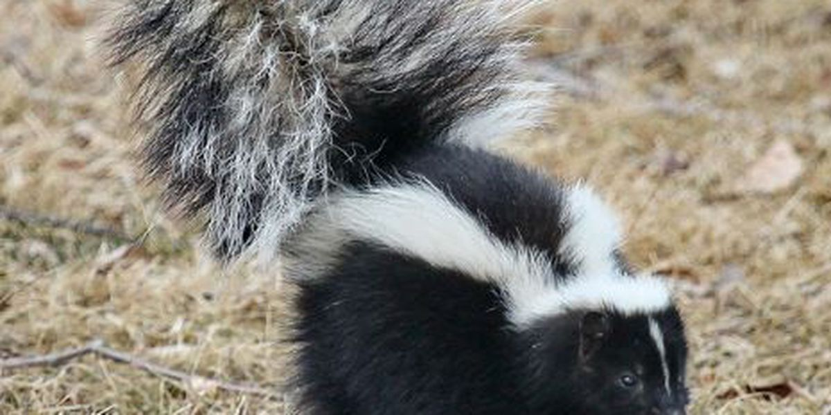 CCSO: Two skunks test positive for rabies